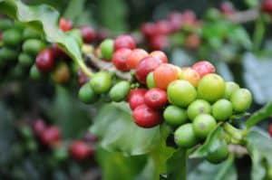 Kaffeestrauch Kaffeebaum Kaffeebohne - Kaffeesorten Arabica u. Robusta