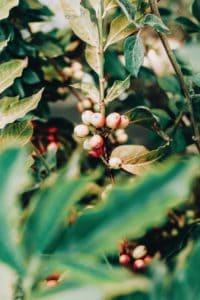 Gehören Tannine in den Kaffee? Vor und Nachteile